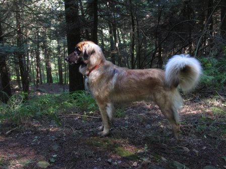 Amber, our Leonberger, looking pretty at Glen Hills