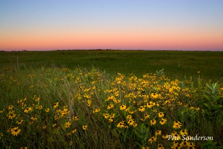 Black-Eyed Susan in the Buena Vista at Sunrise