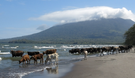 A herd of cows enjoying the waters of Lake Nicaragua on the Island of Ometepe