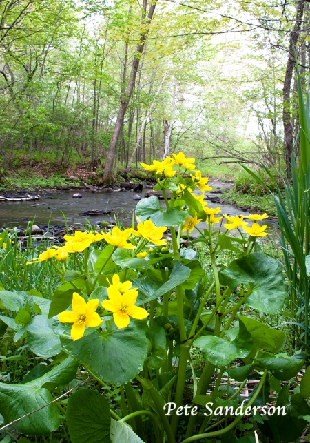 Marsh marigold along a small stream in Whting, Wisconsin