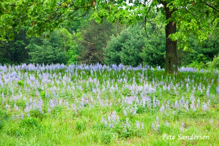 A field of Lupine near Plainfield, Wisconsin.